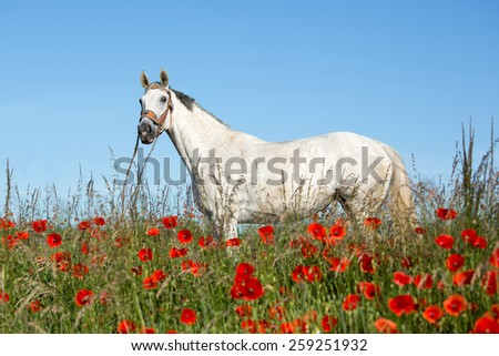 Beautiful white horse posing in a red poppy  - stock photo