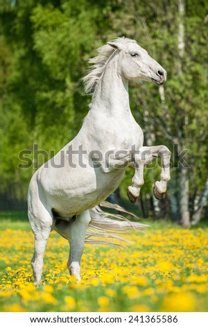 Beautiful white horse rearing up on the field with dandelions - stock photo
