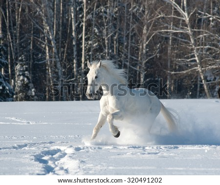 Beautiful white horse running in snow in sunny winter day - stock photo