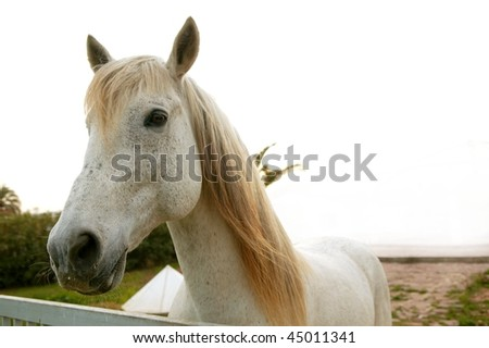 Beautiful white horse soft portrait looking to camera