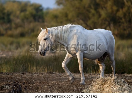 Beautiful white horse standing in the field - stock photo