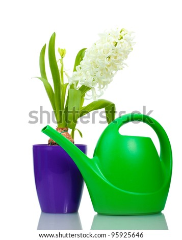 beautiful white hyacinth in purple flowerpot and watering can isolated on white
