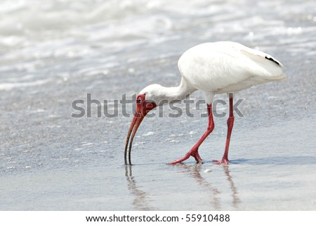 Beautiful white Ibis bird with orange bill and legs feeding in the surf on sandy beach - stock photo