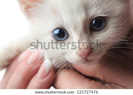 beautiful white kitten with blue eyes - stock photo