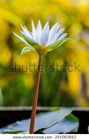 Beautiful white lotus flower blooming in the pond - stock photo