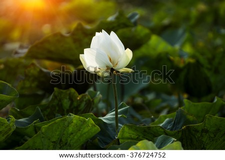 Beautiful white lotus flower in the morning with light. - stock photo