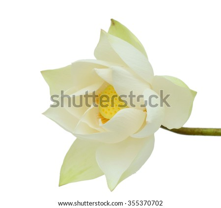 beautiful white Lotus flower isolated on white background