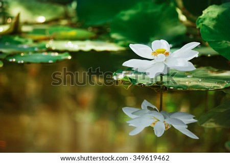Beautiful white lotus flower with green leave on lake and drop water , adjust to gold light make an almost surreal image - stock photo