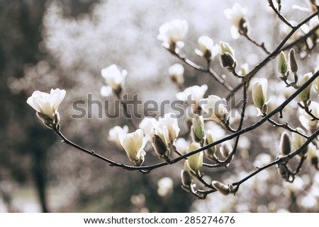 Beautiful white magnolia blossoms in the spring - stock photo