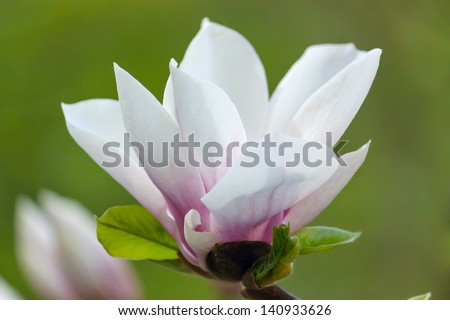 Beautiful white Magnolia  flower that is blooming one of the first in Spring Time, in soft focus, on green backgrounds/ - stock photo