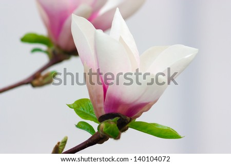 Beautiful white Magnolia tree flowers that is blooming one of the first in Spring Time, in soft focus. - stock photo