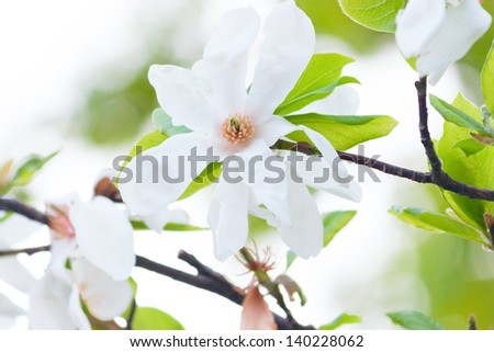 Beautiful white Magnolia tree flowers that is blooming one of the first in Spring Time, in soft focus. Fresh dreamy morning spring atmosphere background. - stock photo