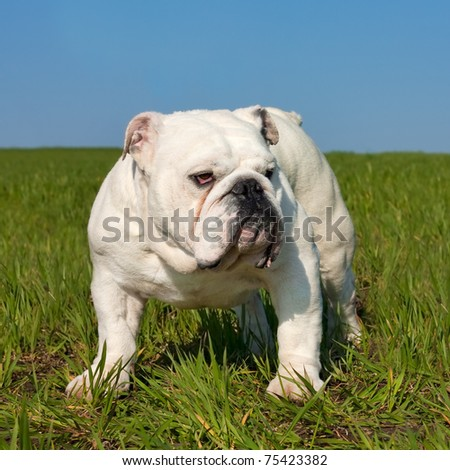 Beautiful white male english bulldog standing in the grass - stock photo