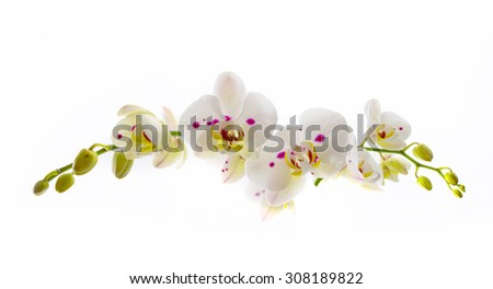 Beautiful White Orchid Flower over White Background long horizontal composition - stock photo