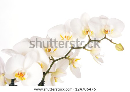 Beautiful white orchid flowers - stock photo