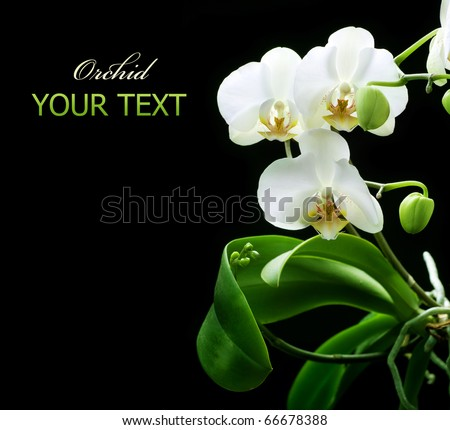 Beautiful White Orchid isolated on black - stock photo