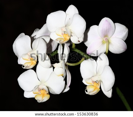 Beautiful white orchid on black background