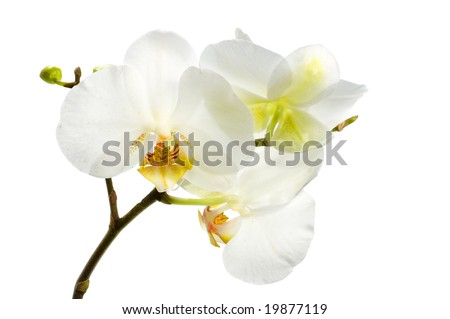 Beautiful White Orchid over white