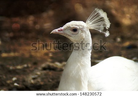Beautiful white peacock - stock photo