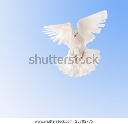 beautiful white pigeon in the sky