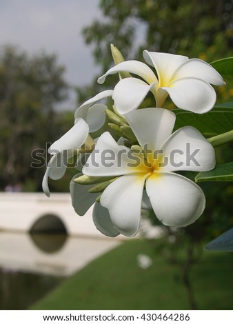 beautiful white Plumeria flower in the park