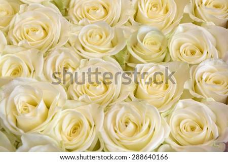 Beautiful white rose background - stock photo