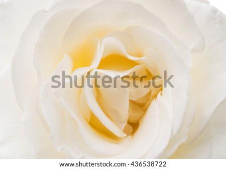 beautiful white rose close up image - stock photo