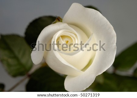 Beautiful white rose closeup on gray background