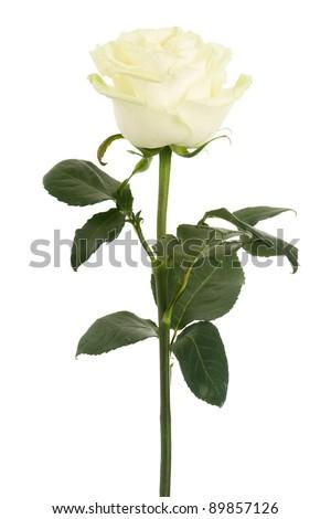 Beautiful white rose isolated on a white background - stock photo