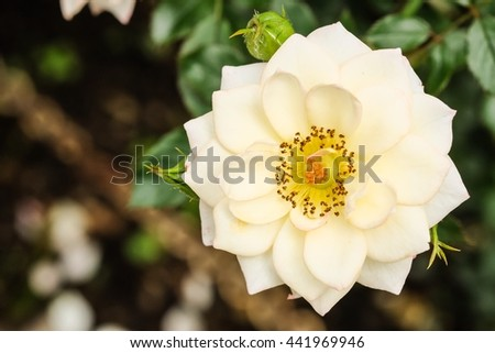 Beautiful white rose with blur nature background, beautiful rose in garden  - stock photo