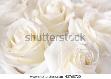 beautiful white roses background - stock photo