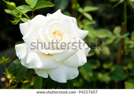 Beautiful white roses on tree - stock photo