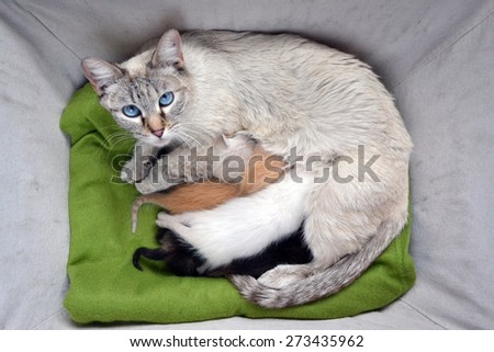 Beautiful white Siamese cat nursing litter of tiny newborns kittens, assorted colors - stock photo