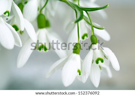Beautiful white snowdrop flowers in spring studio shot - stock photo