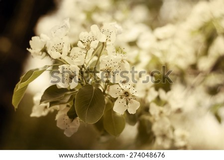 Beautiful white Spring pear flowers - stock photo