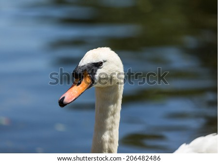 Beautiful white swan close up on blue water background.  - stock photo