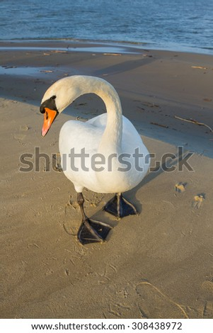 Beautiful white swan emerging from the sea - stock photo