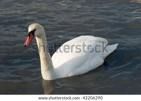 Beautiful white swan on the water.