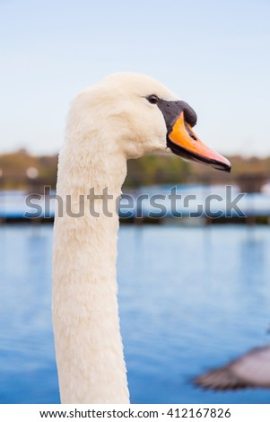 Beautiful white swan swimming in a lake in Hyde park, London - stock photo