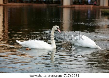Beautiful white swans - stock photo