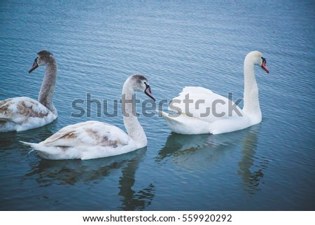 Beautiful white swans on the river. Winter time. Ice and snow.