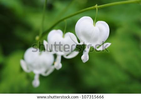 Beautiful white variety of bleeding hearts flowers - stock photo