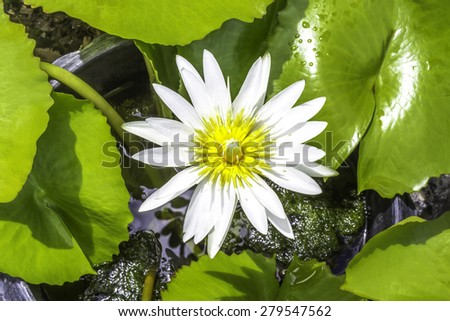 Beautiful white water lily flower and green leaves - stock photo