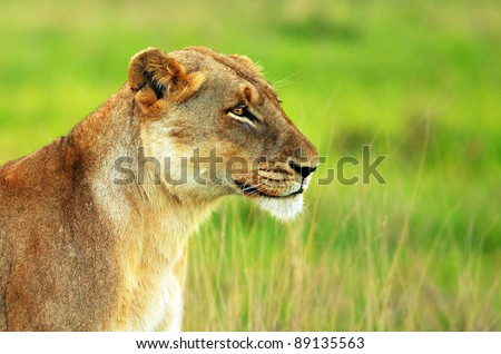 Beautiful wild African lioness - stock photo