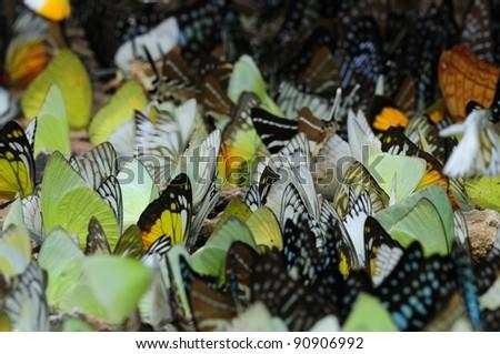 Beautiful Wild Butterflies Seen in Thailand - stock photo