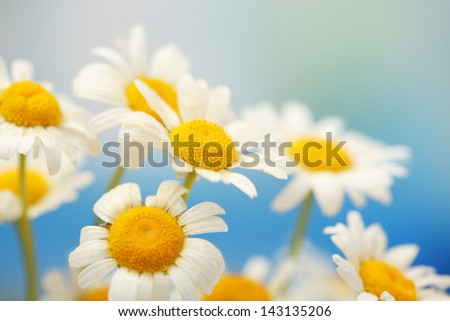 Beautiful wild camomiles, outdoors - stock photo