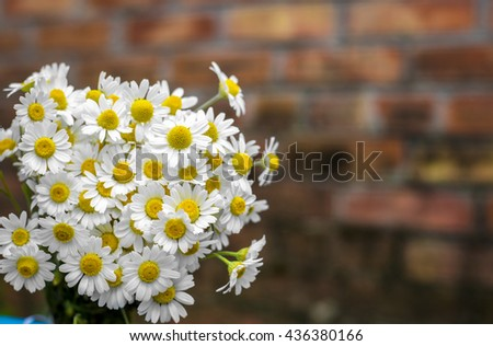 Beautiful wild daisies on a background of a brick wall - stock photo