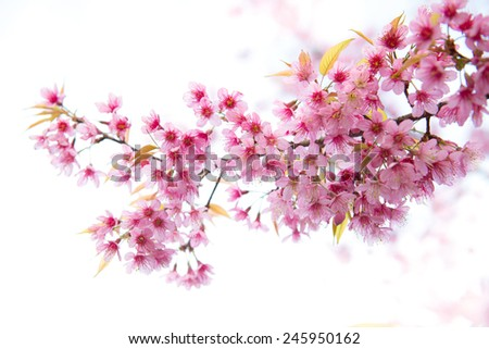 beautiful wild himalayan cherry flower ( Prunus cerasoides ) - stock photo