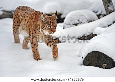 Beautiful wild lynx in winter - stock photo