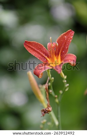 Beautiful wild red flower with water droplets on - stock photo